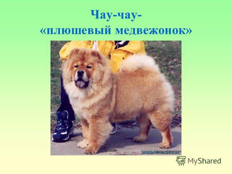 Чау-чау- «плюшевый медвежонок»