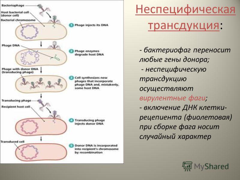 - бактериофаг переносит любые гены донора; - неспецифическую трансдукцию осуществляют вирулентные фаги; - включение ДНК клетки- рецепиента (фиолетовая) при сборке фага носит случайный характер Неспецифическая трансдукция: