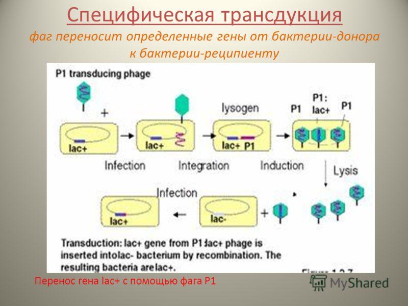 Специфическая трансдукция фаг переносит определенные гены от бактерии-донора к бактерии-реципиенту Перенос гена lac+ с помощью фага Р1