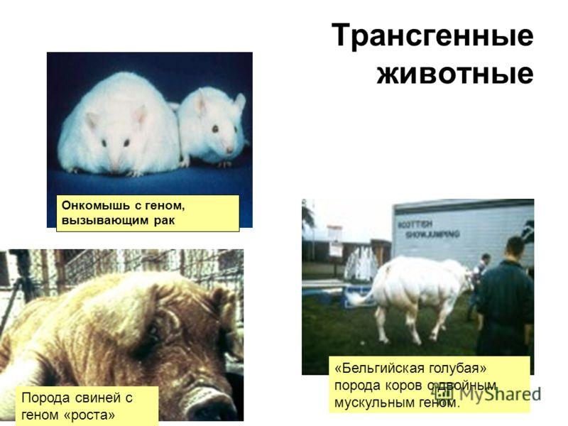 Трансгенные животные Онкомышь с геном, вызывающим рак «Бельгийская голубая» порода коров с двойным мускульным геном. Порода свиней с геном «роста»