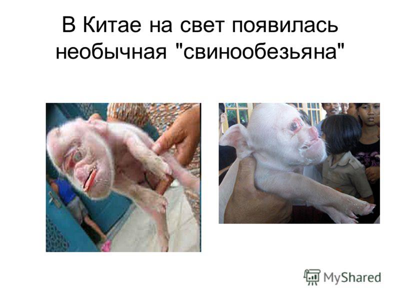 В Китае на свет появилась необычная свинообезьяна