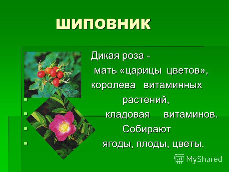 ШИПОВНИК ШИПОВНИК Дикая роза - Дикая роза - мать «царицы цветов», мать «царицы цветов», королева витаминных королева витаминных растений, растений, кладовая витаминов. кладовая витаминов. Собирают Собирают ягоды, плоды, цветы. ягоды, плоды, цветы.