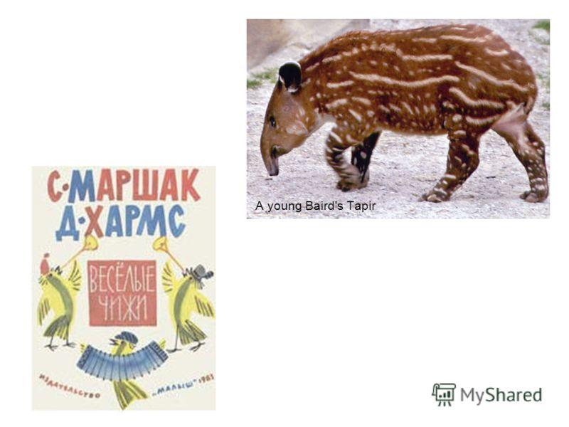A young Baird's Tapir