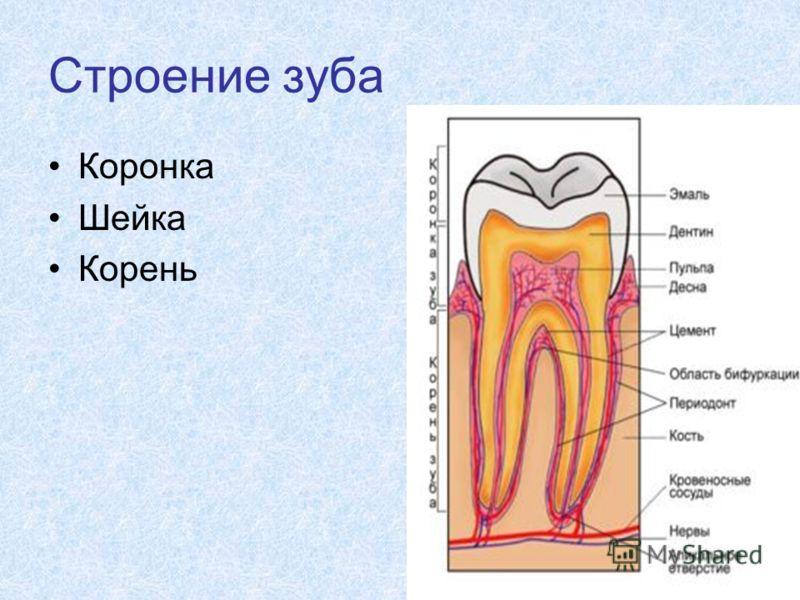 Строение зуба Коронка Шейка Корень