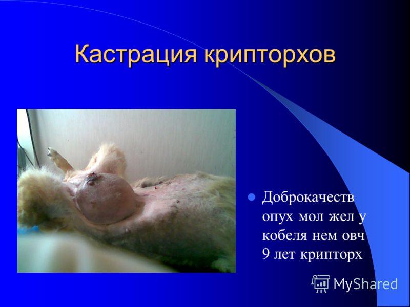 Кастрация крипторхов Доброкачеств опух мол жел у кобеля нем овч 9 лет крипторх