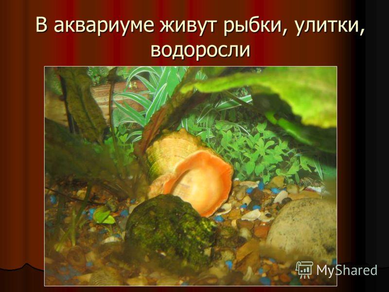 В аквариуме живут рыбки, улитки, водоросли