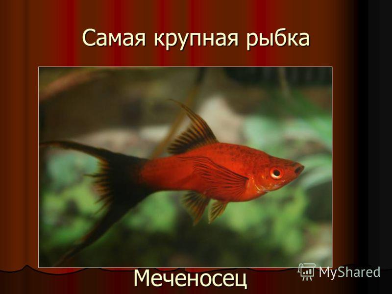 Самая крупная рыбка Меченосец