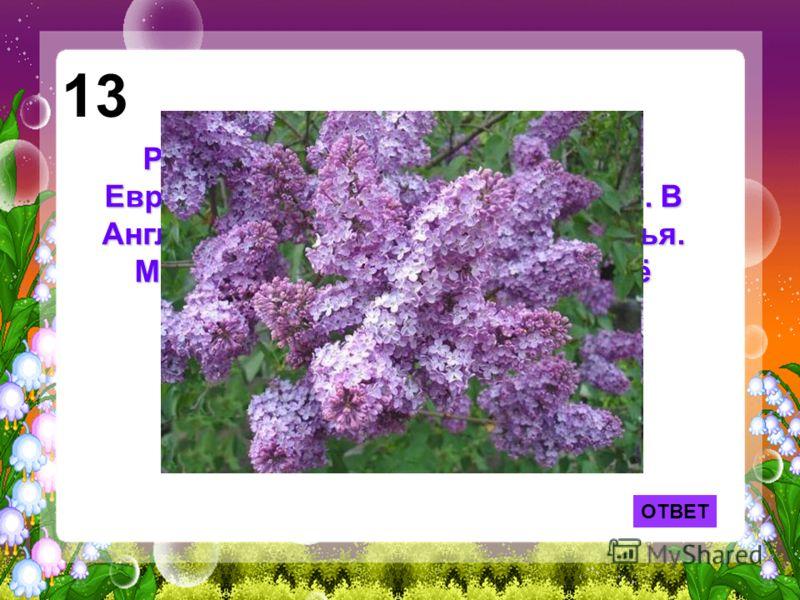 ОТВЕТ 13 Родиной её считается Персия. В Европу она попала лишь в 16 веке. В Англии считается цветком несчастья. Мы же, наоборот, считаем, что её цветочек с пятью лепестками приносит счастье.