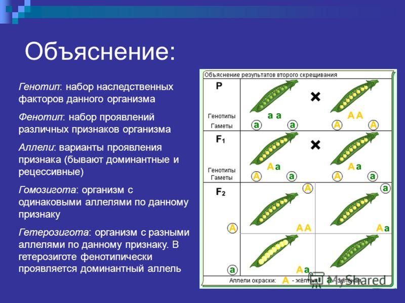 Объяснение: Генотип: набор наследственных факторов данного организма Фенотип: набор проявлений различных признаков организма Аллели: варианты проявления признака (бывают доминантные и рецессивные) Гомозигота: организм с одинаковыми аллелями по данном
