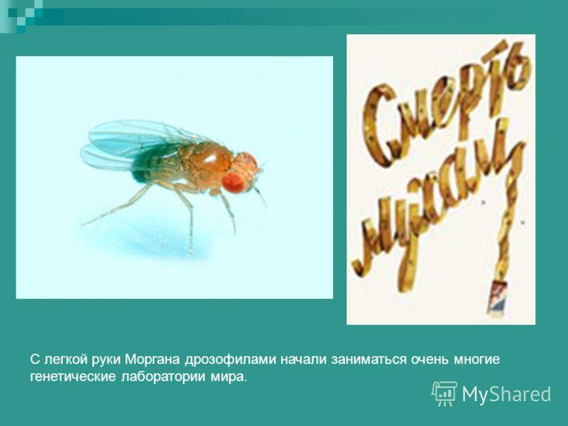 С легкой руки Моргана дрозофилами начали заниматься очень многие генетические лаборатории мира.