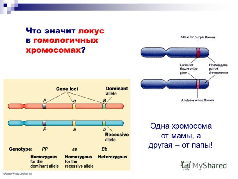 Что значит локус в гомологичных хромосомах? Одна хромосома от мамы, а другая – от папы!