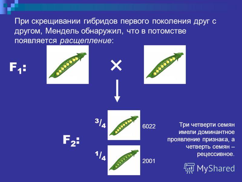 При скрещивании гибридов первого поколения друг с другом, Мендель обнаружил, что в потомстве появляется расщепление: F1:F1: F2:F2: 3/43/4 1/41/4 Три четверти семян имели доминантное проявление признака, а четверть семян – рецессивное. 6022 2001