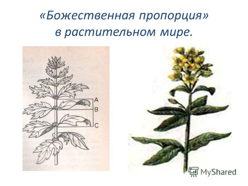 «Божественная пропорция» в растительном мире.
