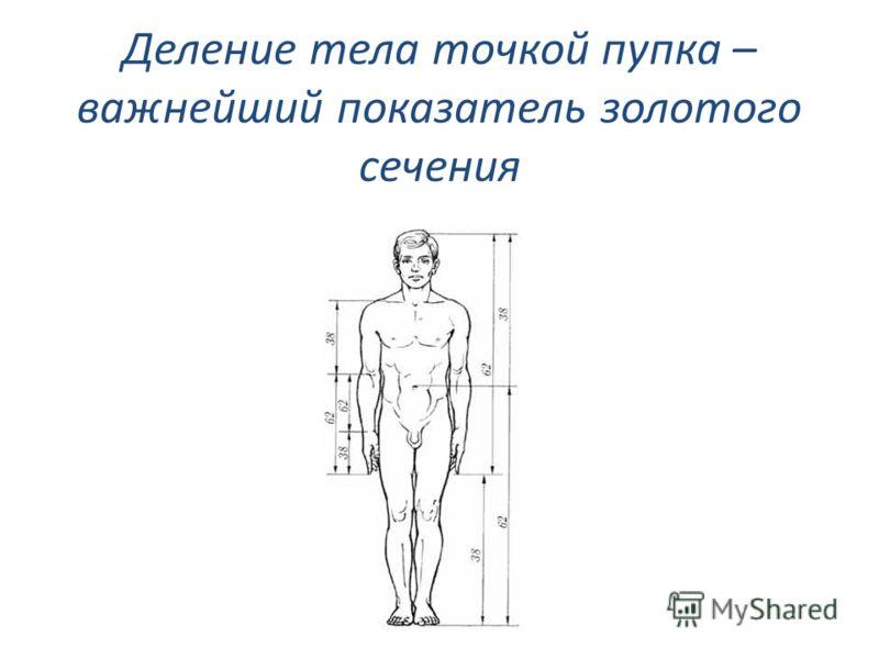 Деление тела точкой пупка – важнейший показатель золотого сечения