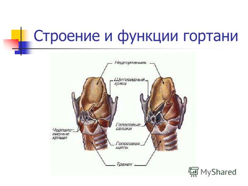Строение и функции гортани