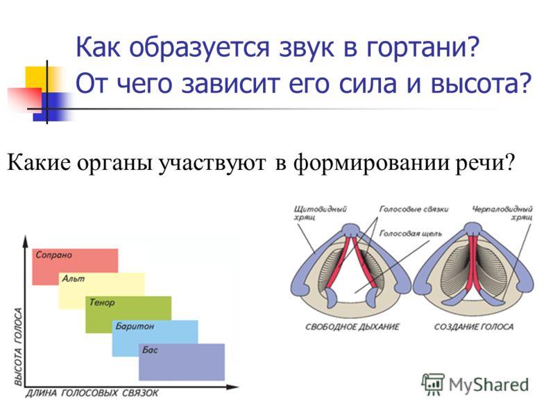 Как образуется звук в гортани? От чего зависит его сила и высота? Какие органы участвуют в формировании речи?