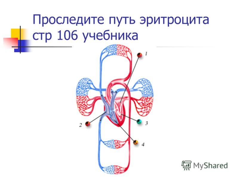 Проследите путь эритроцита стр 106 учебника