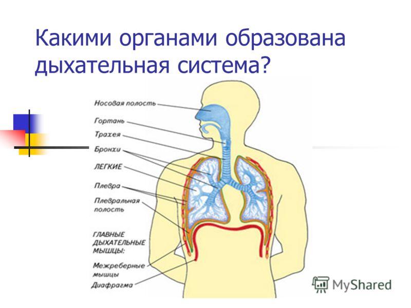 Какими органами образована дыхательная система?