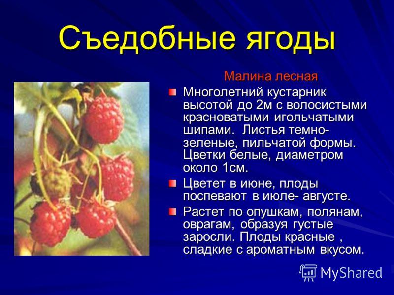 Съедобные ягоды Малина лесная Многолетний кустарник высотой до 2м с волосистыми красноватыми игольчатыми шипами. Листья темно- зеленые, пильчатой формы. Цветки белые, диаметром около 1см. Цветет в июне, плоды поспевают в июле- августе. Растет по опуш