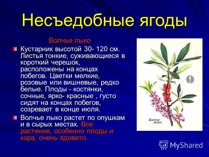 Несъедобные ягоды Волчье лыко Кустарник высотой 30- 120 см. Листья тонкие, суживающиеся в короткий черешок, расположены на концах побегов. Цветки мелкие, розовые или вишневые, редко белые. Плоды - костянки, сочные, ярко- красные, густо сидят на конца