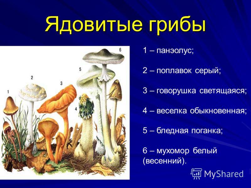 Ядовитые грибы 1 – панэолус; 2 – поплавок серый; 3 – говорушка светящаяся; 4 – веселка обыкновенная; 5 – бледная поганка; 6 – мухомор белый (весенний).