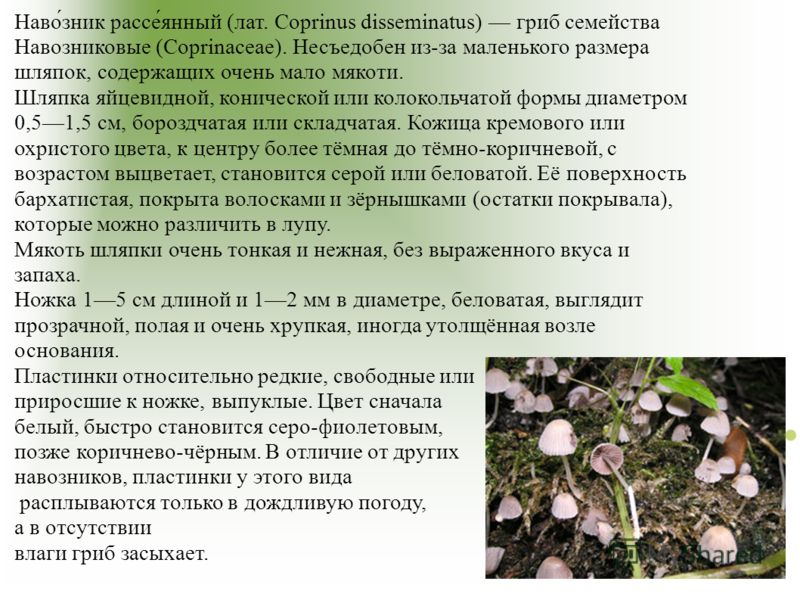 Наво́зник рассе́янный (лат. Coprinus disseminatus) гриб семейства Навозниковые (Coprinaceae). Несъедобен из-за маленького размера шляпок, содержащих очень мало мякоти. Шляпка яйцевидной, конической или колокольчатой формы диаметром 0,51,5 см, бороздч