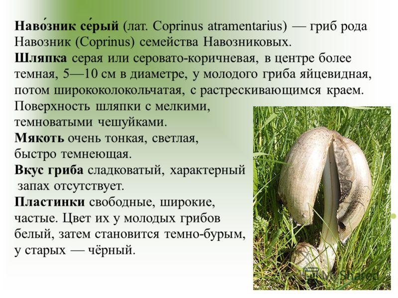Наво́зник се́рый (лат. Coprinus atramentarius) гриб рода Навозник (Coprinus) семейства Навозниковых. Шляпка серая или серовато-коричневая, в центре более темная, 510 см в диаметре, у молодого гриба яйцевидная, потом ширококолокольчатая, с растрескива