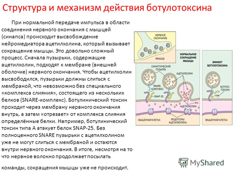 Структура и механизм действия ботулотоксина При нормальной передаче импульса в области соединения нервного окончания с мышцей (синапса) происходит высвобождение нейромедиатора ацетилхолина, который вызывает сокращение мышцы. Это довольно сложный проц