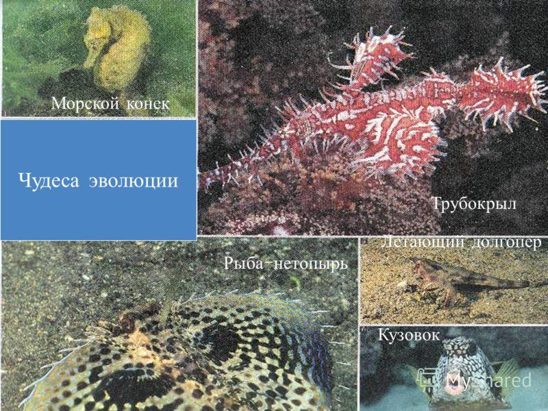 Морской конек Рыба - нетопырь Кузовок Трубокрыл Летающий долгопер Чудеса эволюции