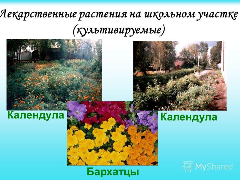 Лекарственные растения на школьном участке (культивируемые) Календула Бархатцы Календула