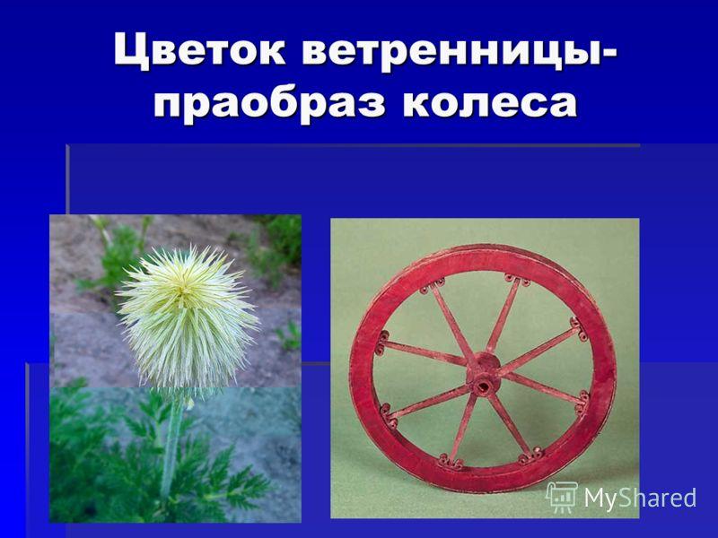 Цветок ветренницы- праобраз колеса