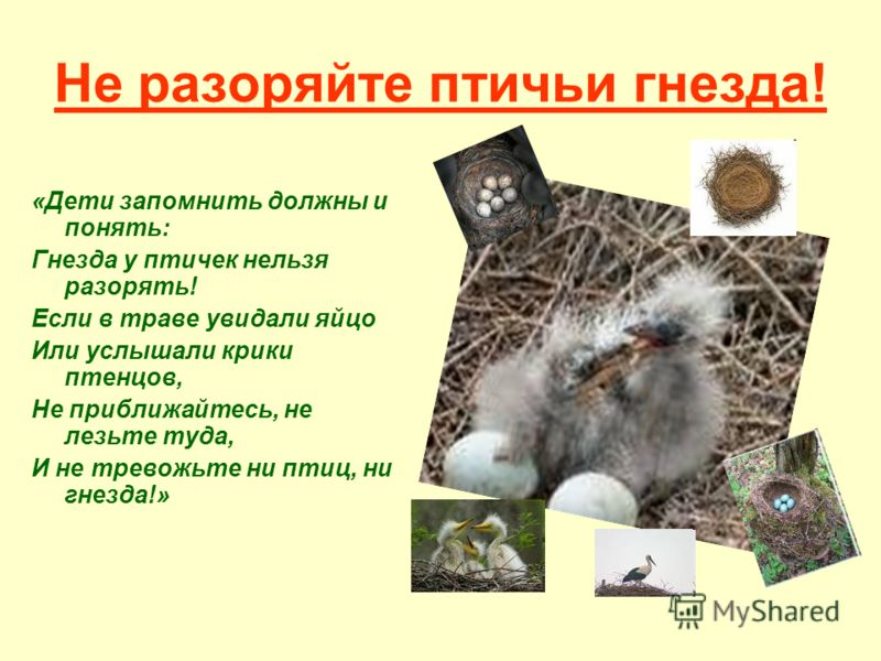 Не разоряйте птичьи гнезда! «Дети запомнить должны и понять: Гнезда у птичек нельзя разорять! Если в траве увидали яйцо Или услышали крики птенцов, Не приближайтесь, не лезьте туда, И не тревожьте ни птиц, ни гнезда!»