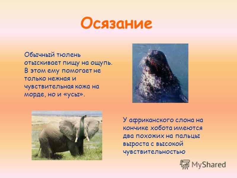 Осязание Обычный тюлень отыскивает пищу на ощупь. В этом ему помогает не только нежная и чувствительная кожа на морде, но и «усы». У африканского слона на кончике хобота имеются два похожих на пальцы выроста с высокой чувствительностью