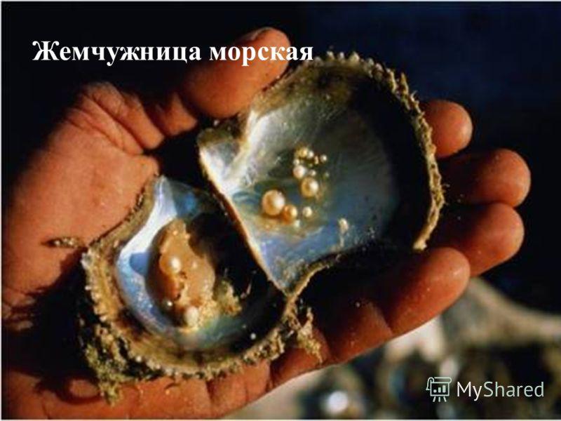 Жемчужница морская