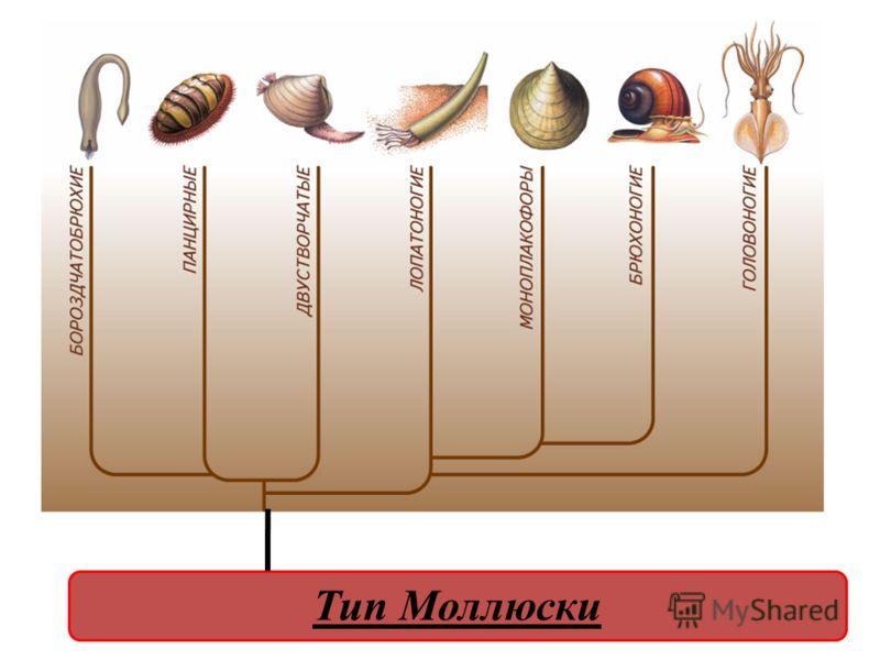 РОДСТВЕННЫЕ ОТНОШЕНИЯ МЕЖДУ КЛАССАМИ МОЛЛЮСКОВ Тип Моллюски