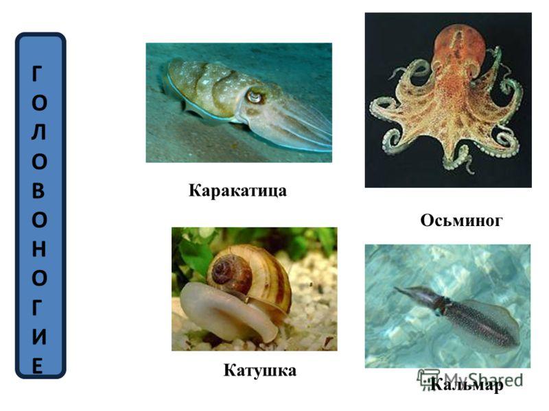 Каракатица Осьминог Кальмар Катушка ГОЛОВОНОГИЕГОЛОВОНОГИЕ