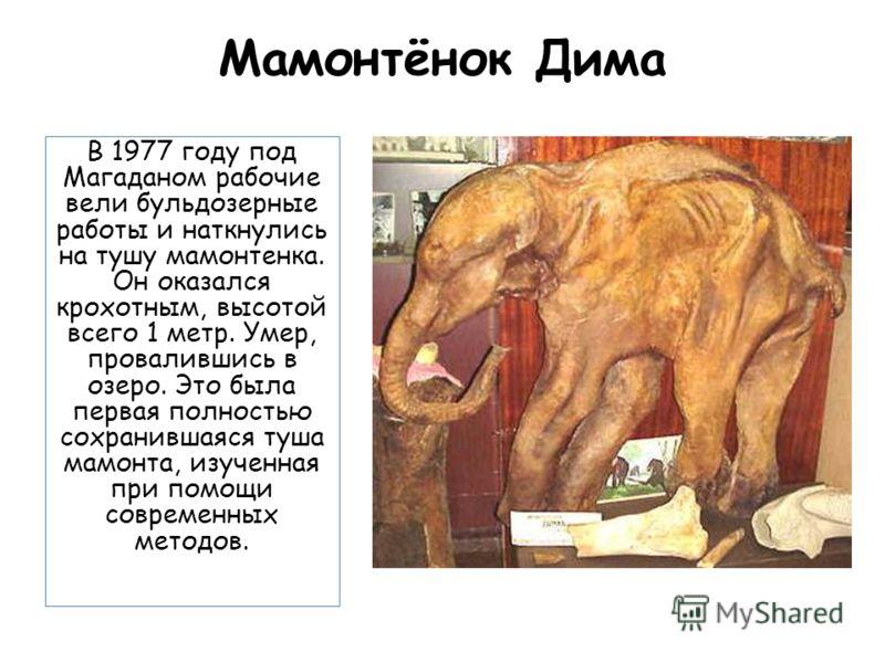 Мамонтёнок Дима В 1977 году под Магаданом рабочие вели бульдозерные работы и наткнулись на тушу мамонтенка. Он оказался крохотным, высотой всего 1 метр. Умер, провалившись в озеро. Это была первая полностью сохранившаяся туша мамонта, изученная при п