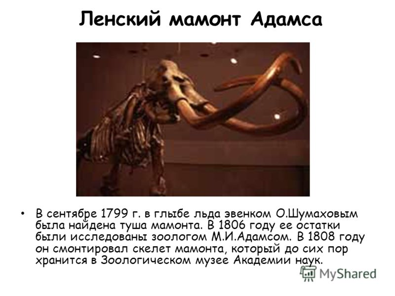 Ленский мамонт Адамса В сентябре 1799 г. в глыбе льда эвенком О.Шумаховым была найдена туша мамонта. В 1806 году ее остатки были исследованы зоологом М.И.Адамсом. В 1808 году он смонтировал скелет мамонта, который до сих пор хранится в Зоологическом