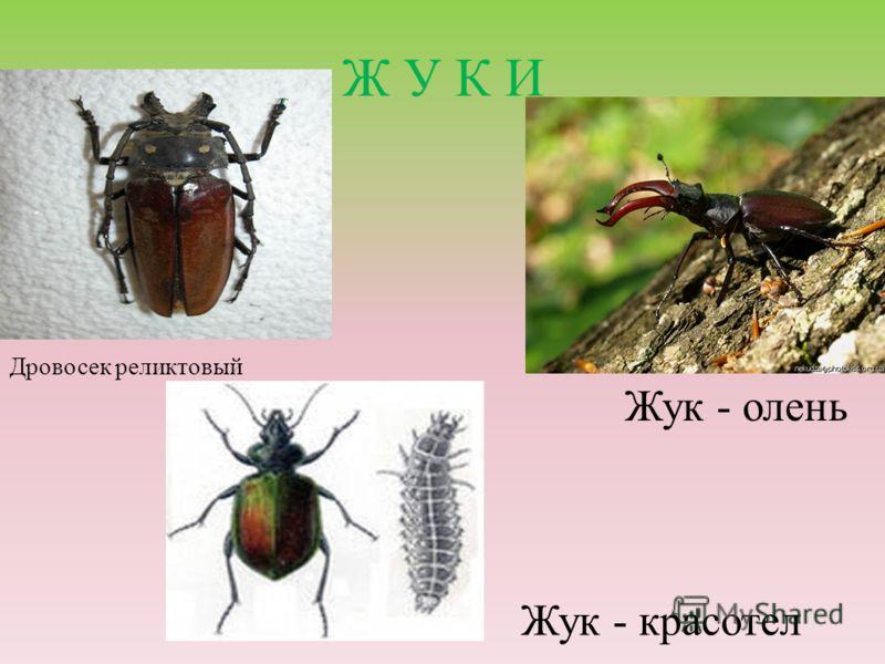 Ж У К И Жук - олень Дровосек реликтовый Жук - красотел