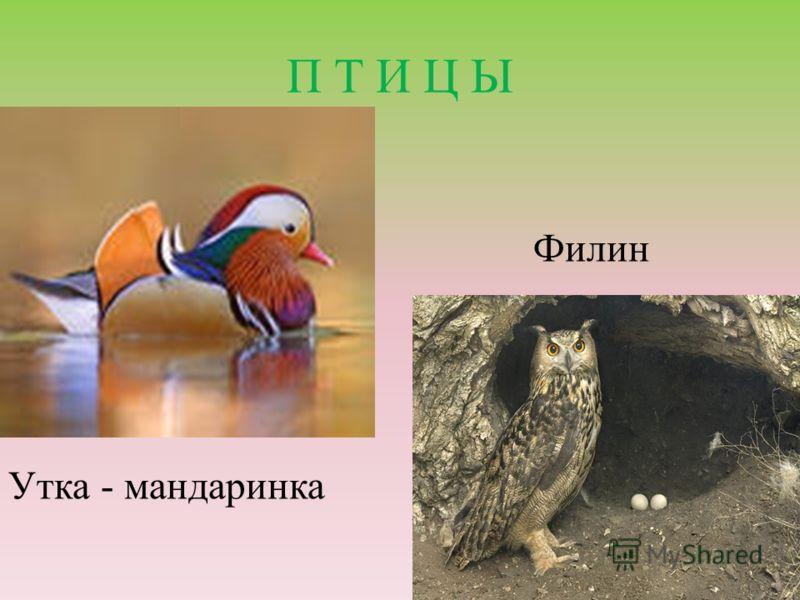 П Т И Ц Ы Утка - мандаринка Филин