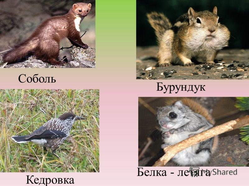 Кедровка Белка - летяга Соболь Бурундук
