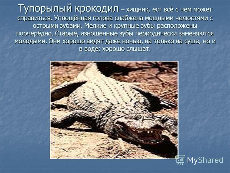 Тупорылый крокодил – хищник, ест всё с чем может справиться. Уплощённая голова снабжена мощными челюстями с острыми зубами. Мелкие и крупные зубы расположены поочерёдно. Старые, изношенные зубы периодически заменяются молодыми. Они хорошо видят даже