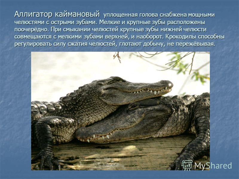 Аллигатор каймановый уплощенная голова снабжена мощными челюстями с острыми зубами. Мелкие и крупные зубы расположены поочерёдно. При смыкании челюстей крупные зубы нижней челюсти совмещаются с мелкими зубами верхней, и наоборот. Крокодилы способны р