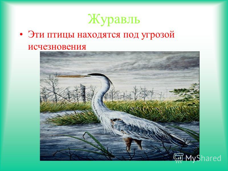 Журавль Эти птицы находятся под угрозой исчезновения