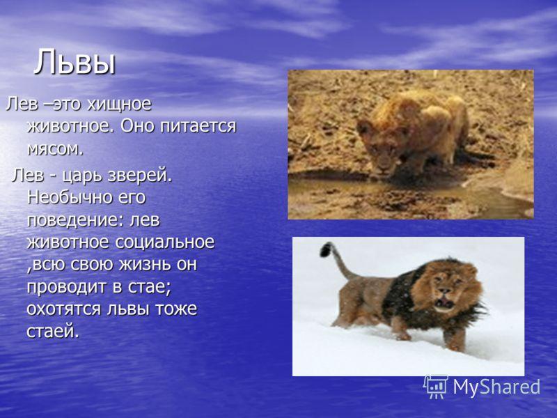 Доклад про царя зверей льва 5680