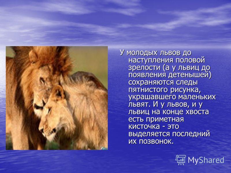 У молодых львов до наступления половой зрелости (а у львиц до появления детенышей) сохраняются следы пятнистого рисунка, украшавшего маленьких львят. И у львов, и у львиц на конце хвоста есть приметная кисточка - это выделяется последний их позвонок.