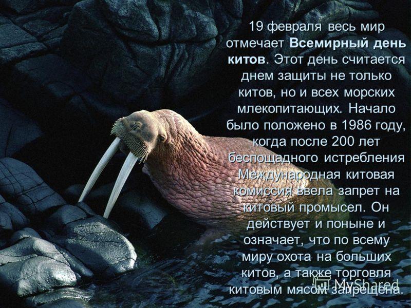 19 февраля весь мир отмечает Всемирный день китов. Этот день считается днем защиты не только китов, но и всех морских млекопитающих. Начало было положено в 1986 году, когда после 200 лет беспощадного истребления Международная китовая комиссия ввела з