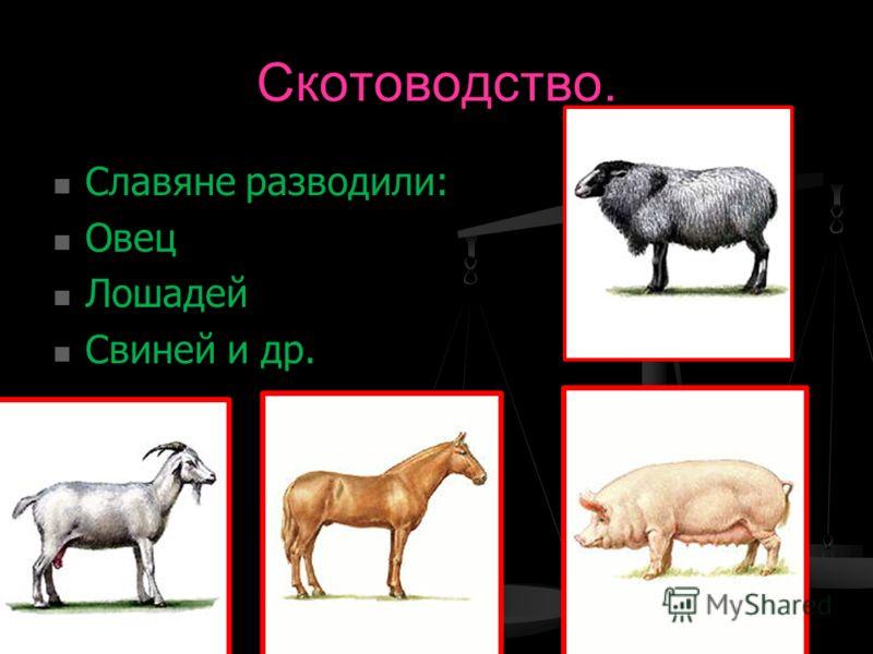 Скотоводство. Славяне разводили: Славяне разводили: Овец Овец Лошадей Лошадей Свиней и др. Свиней и др.