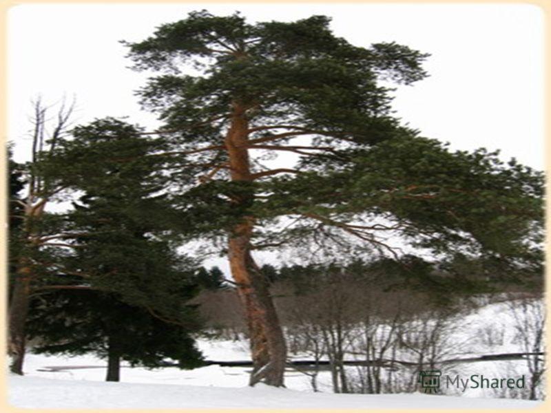 Название какого очень распространённого дерева состоит из четырёх предлогов?