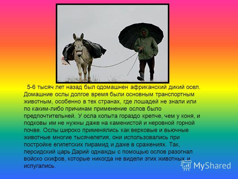 5-6 тысяч лет назад был одомашнен африканский дикий осел. Домашние ослы долгое время были основным транспортным животным, особенно в тех странах, где лошадей не знали или по каким-либо причинам применение ослов было предпочтительней. У осла копыта го